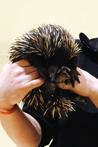 Echidna - Walk On The Wild Side 2014 - Fund Raiser for Wildlife Haven