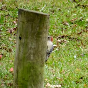 Red Bellied Woodpecker - Ammons Resevoir
